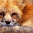 تصویر مستر fox