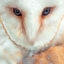 تصویر Tyto Alba