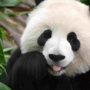 تصویر Panda .
