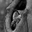 تصویر hermit owl