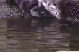 سمور آبی در حال آموزش شـنا به بچهاش
